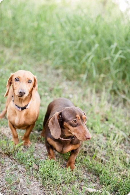 farm-engagement-session_dachshund-dogs_Okanagan_08_by-Kevin-Trowbridge