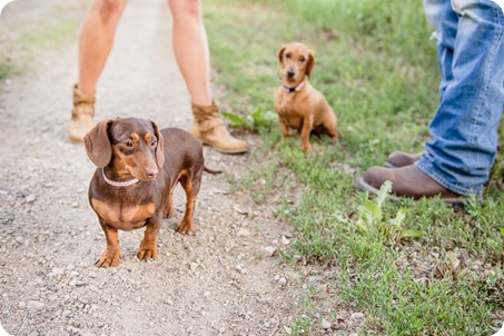 farm-engagement-session_dachshund-dogs_Okanagan_10_by-Kevin-Trowbridge