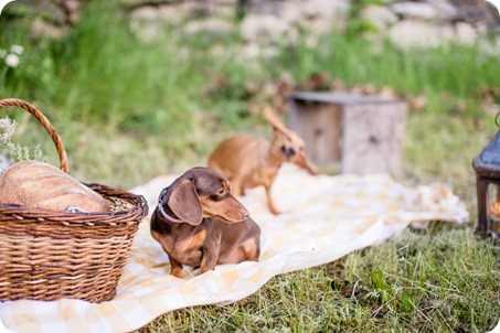 farm-engagement-session_dachshund-dogs_Okanagan_68_by-Kevin-Trowbridge